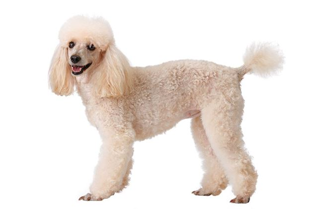 poodle-atlasofeating-resize.jpg__800x0_q85_crop