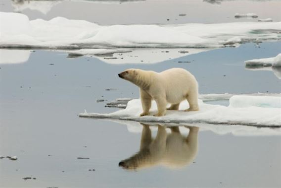 110539300_bcdwrh_a_lone_polar_bear_is_reflected_in_icy_arctic_waters-large