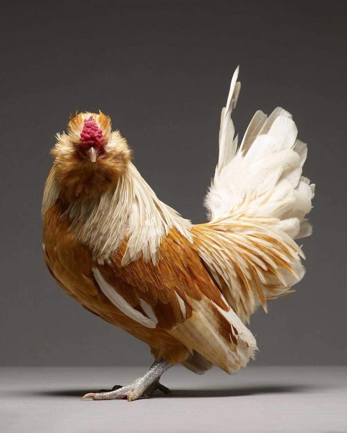 chicken-18