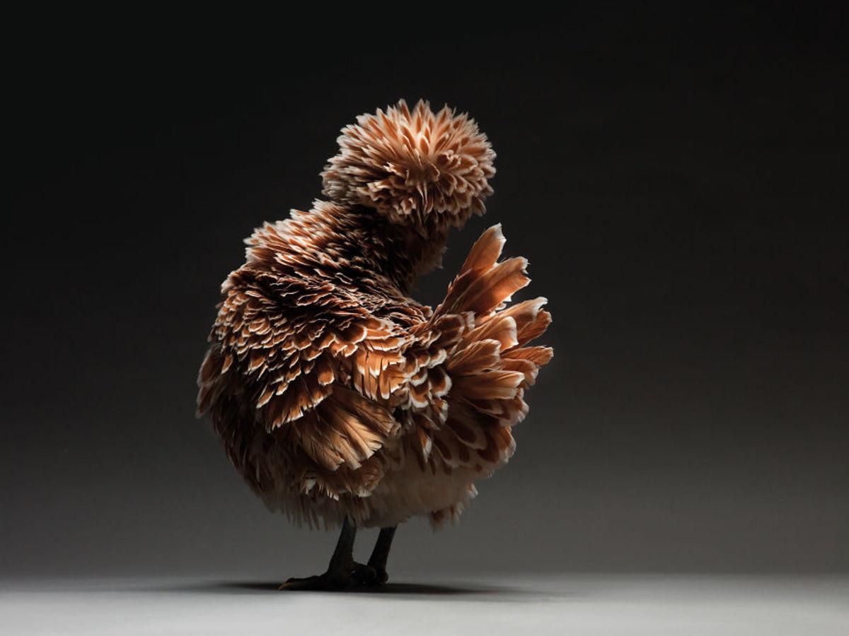 chicken-19