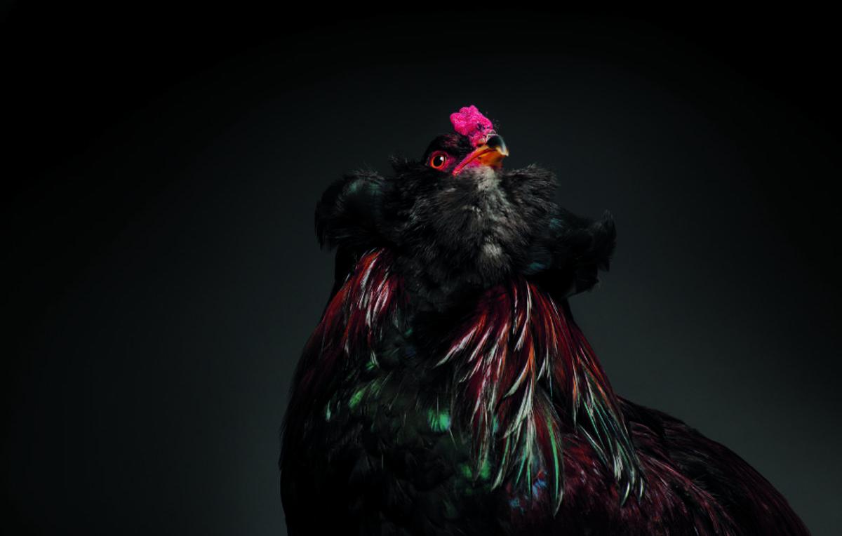 chicken-6