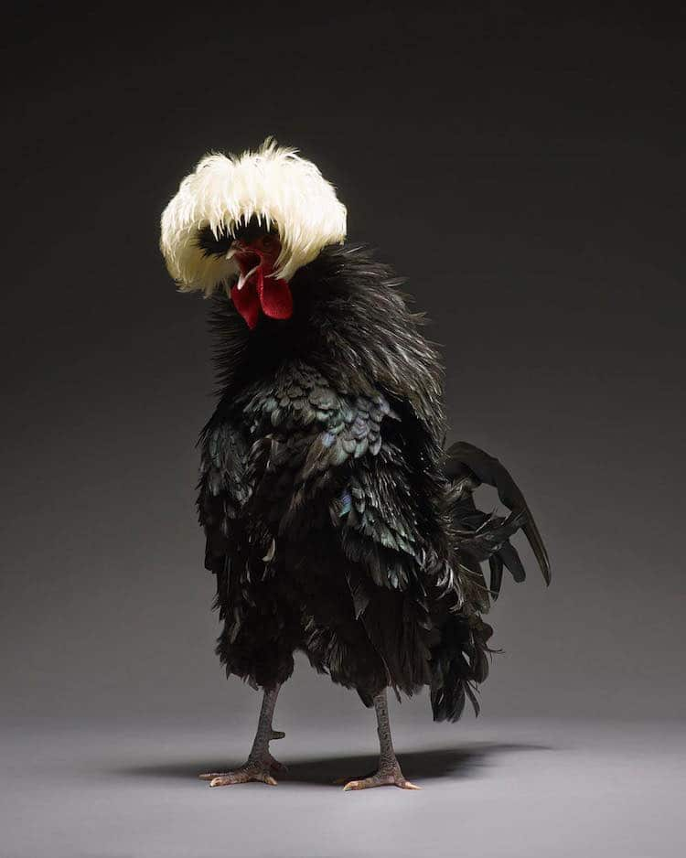 chicken-portrait-book-monti-tranchellini-19