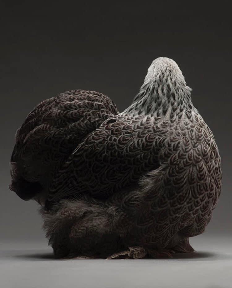 chicken-portrait-book-monti-tranchellini-21