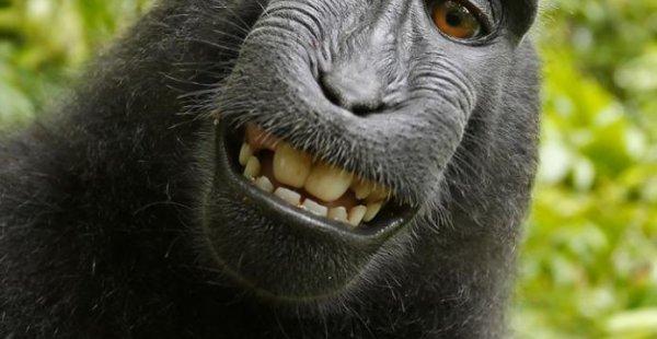 קוף הגיע לפשרה על זכותו בסלפי שצילם