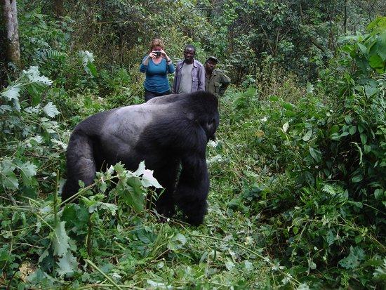 silverback-gorilla-in