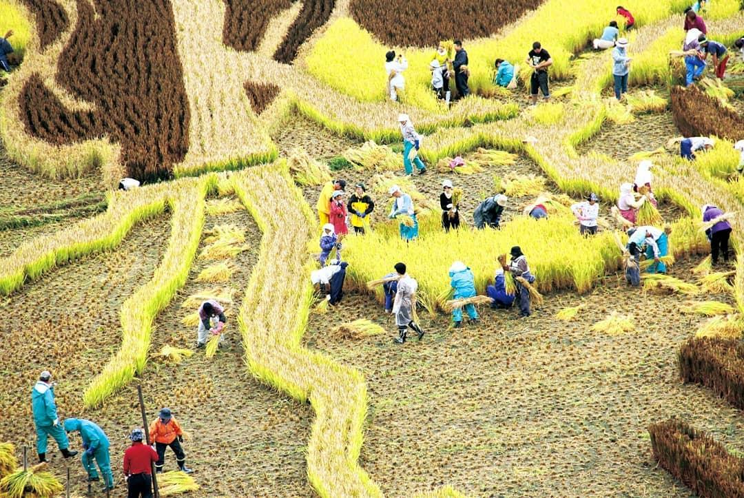 אמנות שדות האורז בעיירה אינקדאטה, יפן