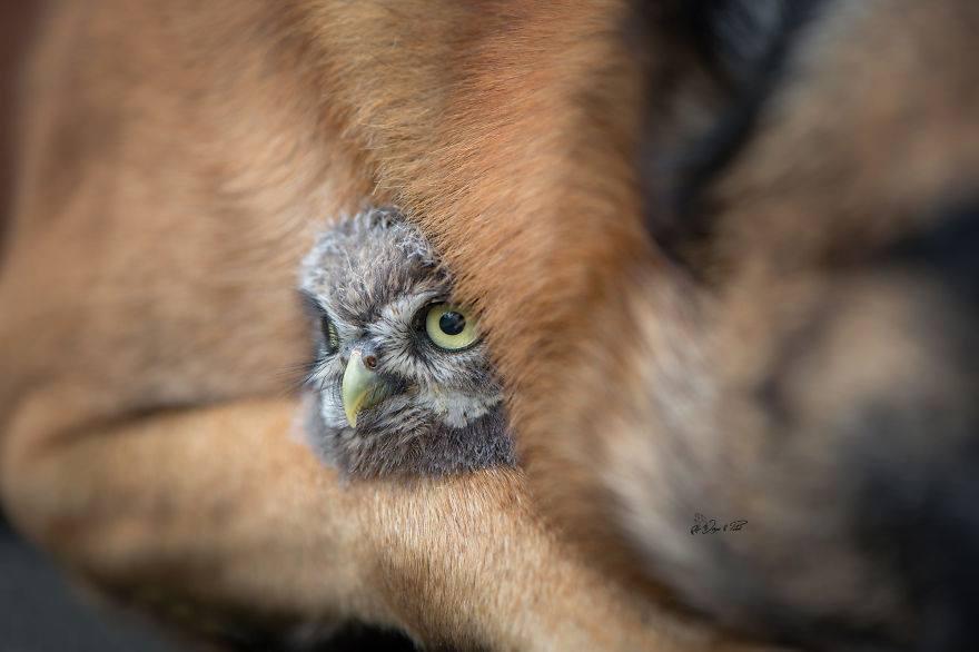 חברות בין כלב רועים לינשוף