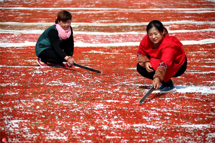 ייבוש תבלינים בסתיו בהאנגלינג, סין