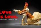 אהבה היא אהבה: זוגות תרנגולים מאוהבים