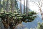 היפנים מייצרים עץ בטכניקת daisugi – מבלי לכרות עצים, כבר 700 שנה