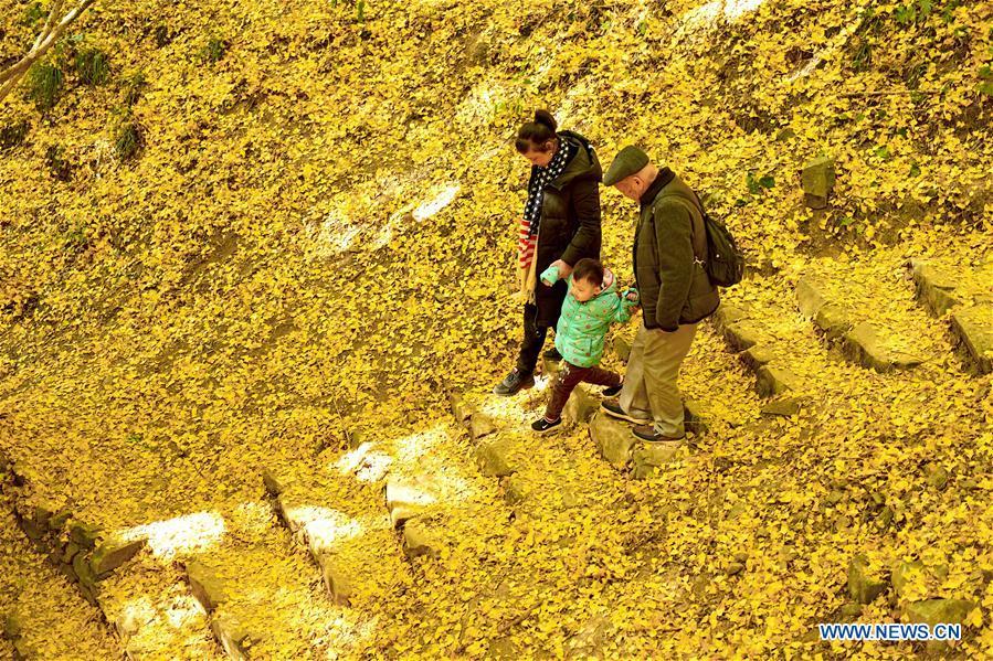 עץ גינקו בן 1400 שנה, משיר עלי זהב בסתיו