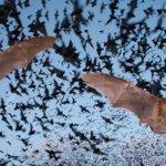 עיר אוסטרלית במצב חירום עקב פלישת מאות אלפי עטלפים