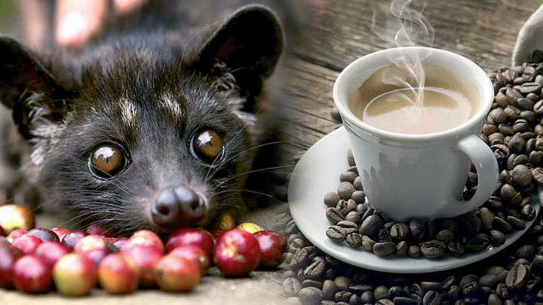 קפה Kopi Luwak היקר ביותר בעולם, עשוי מקקי